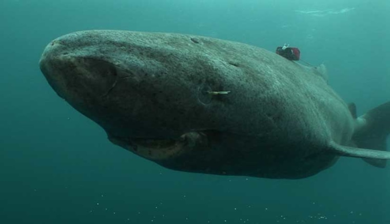 A Greenland shark with a data logger on its back is shown swimming— slowly.