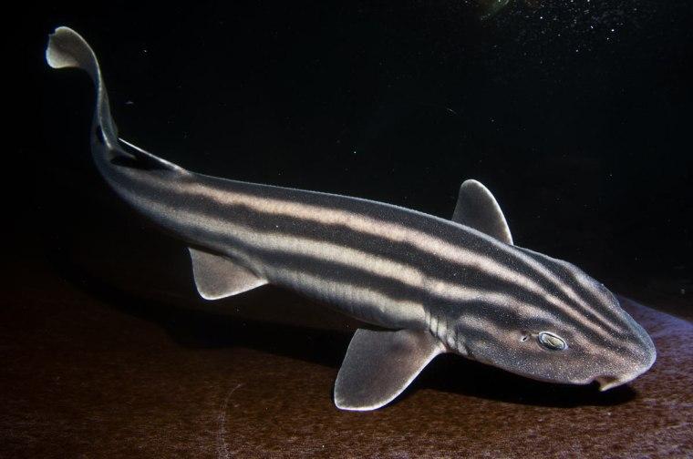 Image: Pyjama shark