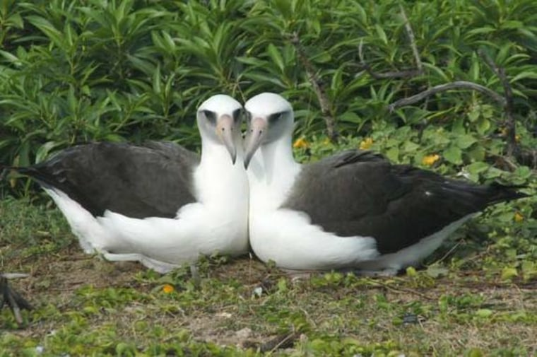 """A picture ofpaired female albatross. While the urge is to call these birds """"lesbians,"""" two biologists say that can give the misinformation that human sexuality is a """"disease"""" that can be """"cured."""""""