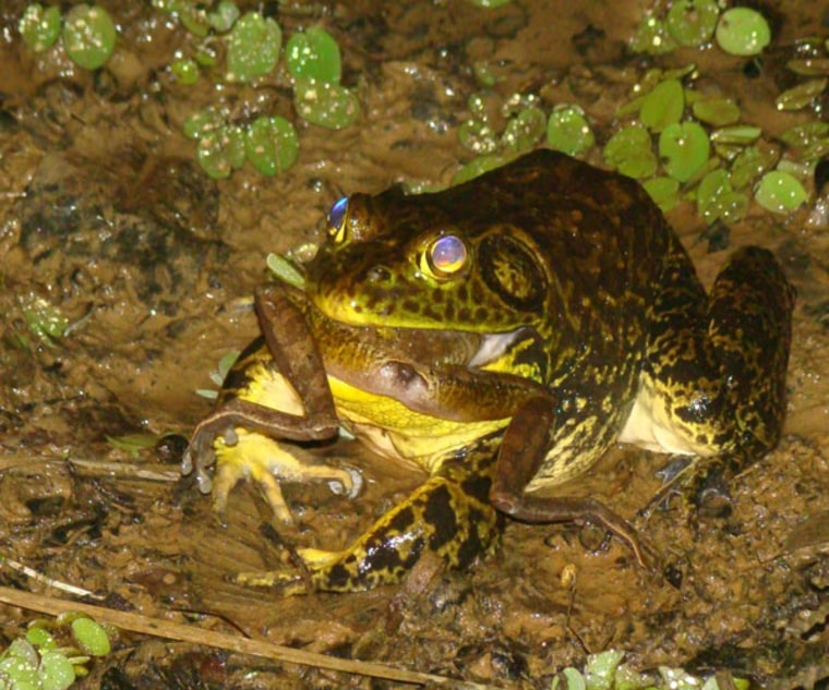 A North American bullfrog devouring a native frog in Brazil's Atlantic Forest. Bullfrogs are raised on frog farms in Brazil and are shipped worldwide as food. Some bullfrogs have established feral colonies in Brazil's Atlantic Forest.