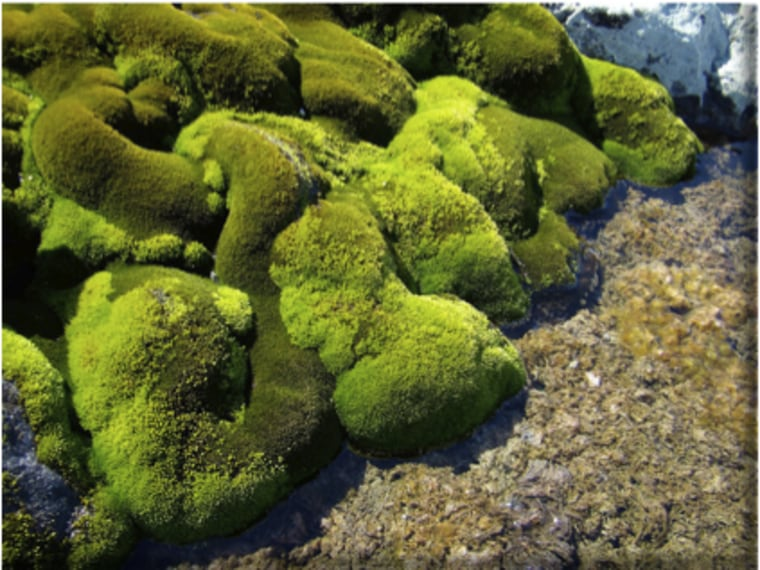 This moss that carpets areas of Antarctica near water sources has been found to feed off the nutrients found in penguin poop, according to a 2012 study.