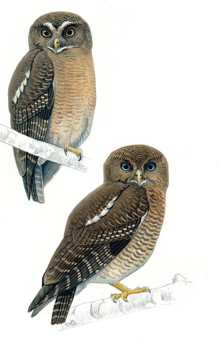 Two new species of owls have been discovered in the Philippines. At the top left is the Cebu Hawk-owl and at the bottom right is the Camiguin Hawk-owl.