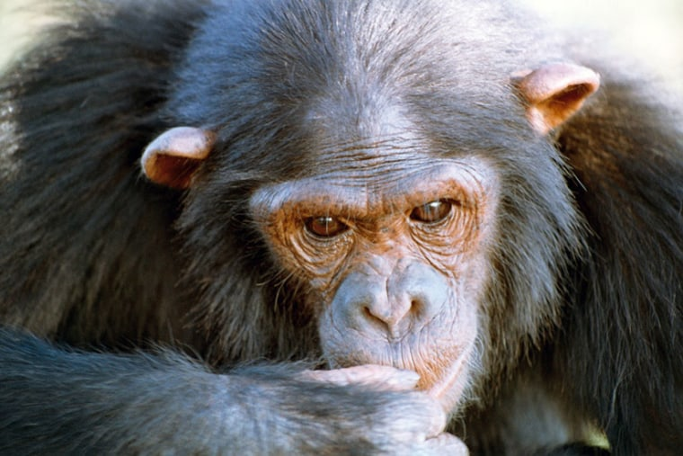 Natasha, who appears in this photo, outperformed other chimps on tests given by researchers to measure intelligence.