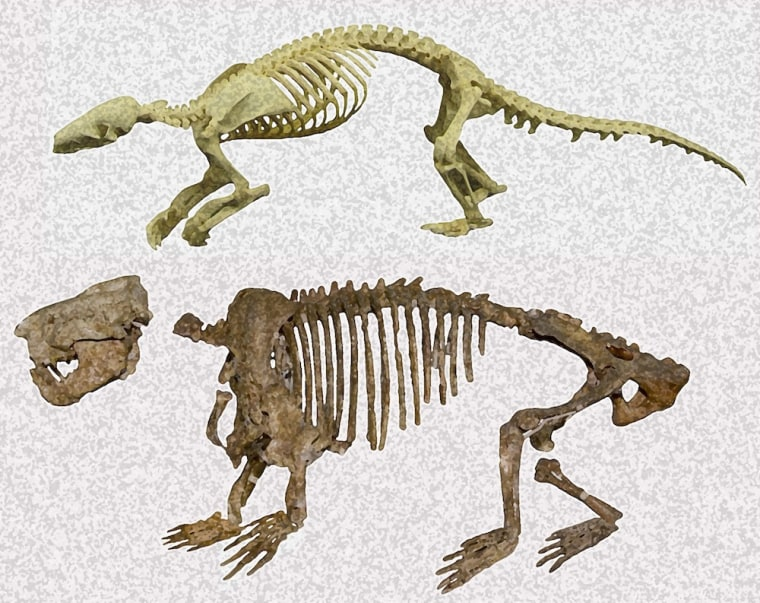 A modern-day pangolin (Manis pentadactyla) skeleton (top) and the ancient Ernanodon antelios (bottom).