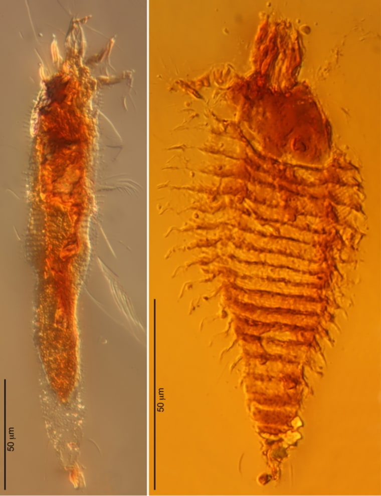 Photomicrographs of the two new species of ancient gall mites in 230-million-year-old amber droplets from northeastern Italy, taken at 1000x magnification. The gall mites were named (left) Triasacarus fedelei and (right) Ampezzoa triassica.