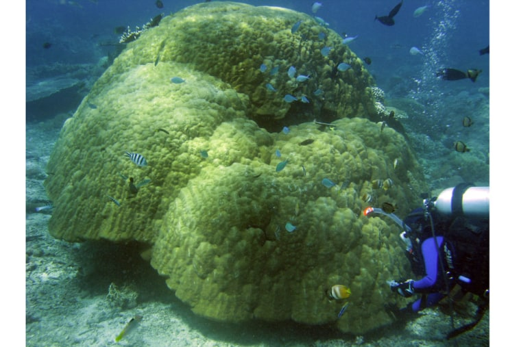 Adult lobe coral (Porites lobata) colonies can grow to be several hundred years old, providing habitat to reef dwellers.