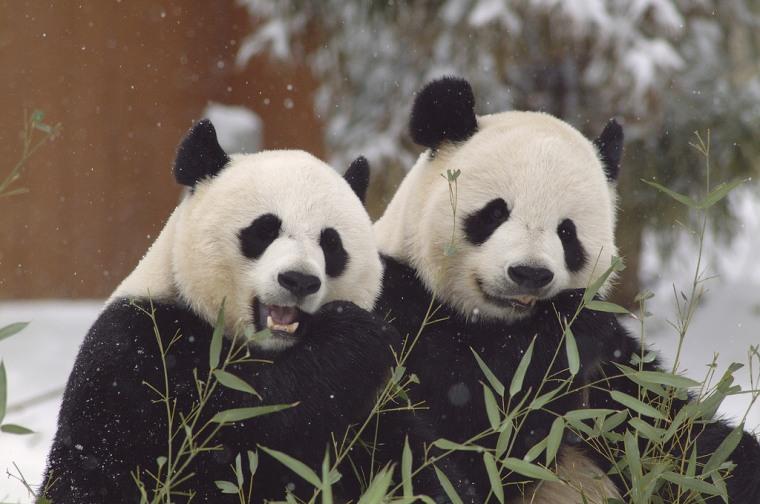 Mei Xiang (L) and Tian Tian (R)