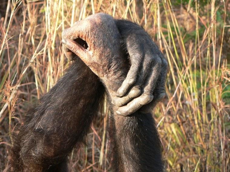 Image: Chimpanzees grasp wrists