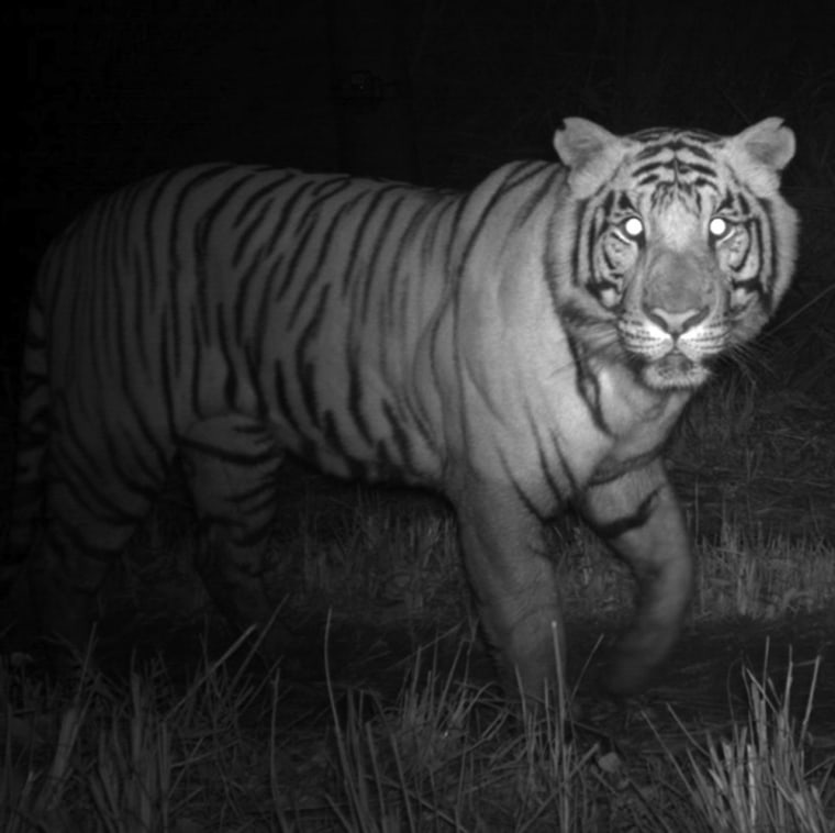 A Bengal tiger caught by a motion-activated camera in Nepal.