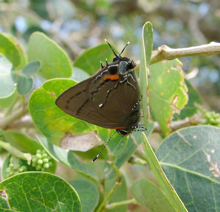 This Fulvous Hairstreak butterfly, Electrostrymon angelia, was observed and collected by University of Florida researchers at the Guantanamo Bay Naval Station in January.