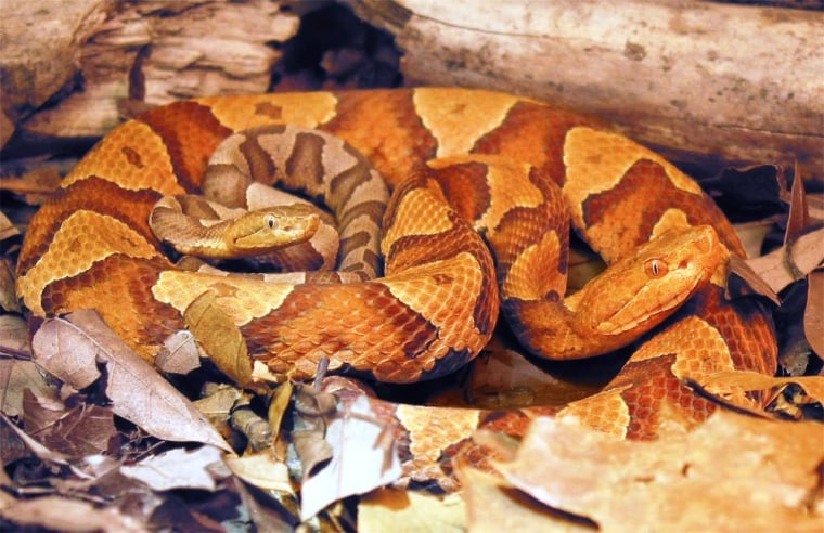 Image: Virgin snake birth