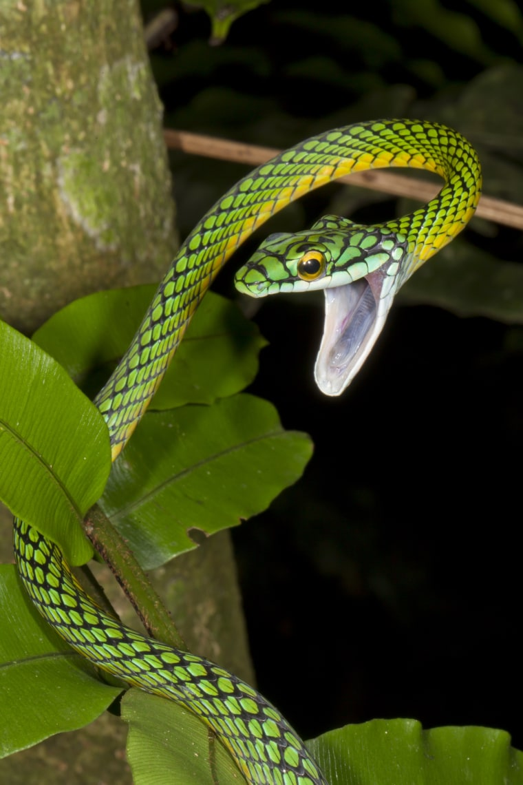 A parrot snake, one of at least 50 species of snakes in Madidi National Park.