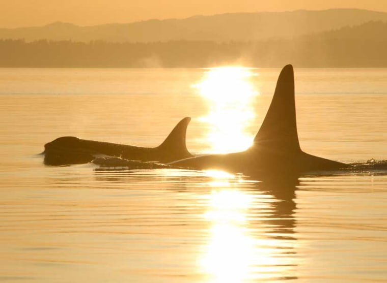 A killer whale mother and her son glide along on top of the ocean.