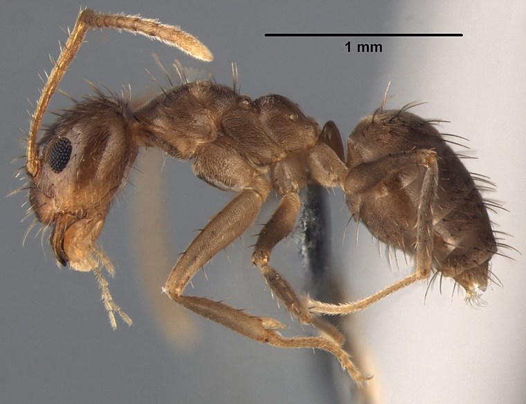 The worker ant of the species Nylanderia pubens, shown here, is virtually identical to the Rasberry crazy ant, though of a different species.