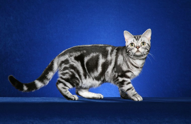 """A tabby cat with a """"blotched"""" color pattern, above, and a tabbywith a typical mackerel striped pattern, below."""