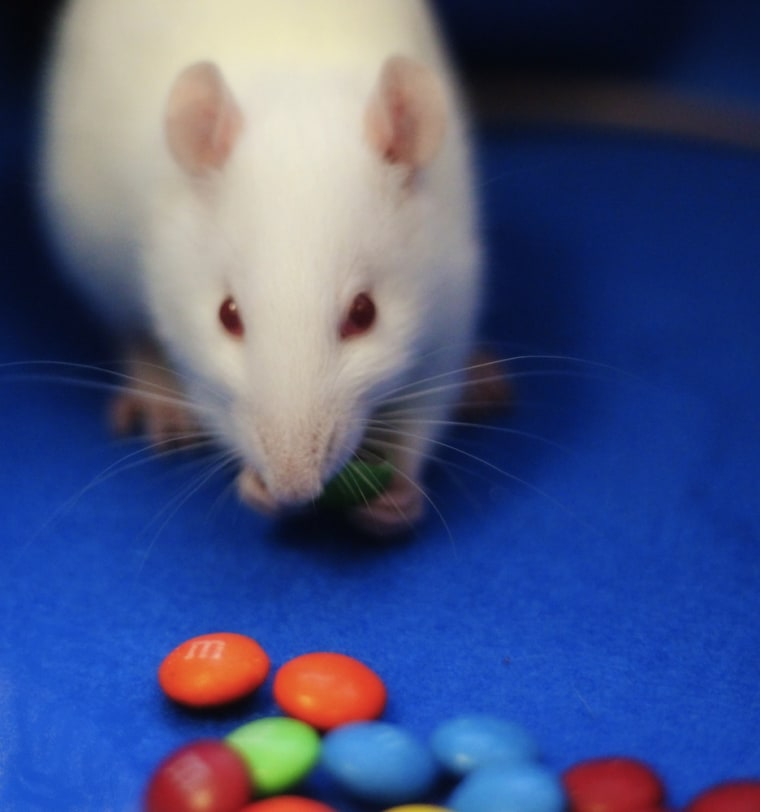 An opium-like brain chemical prompts rats to gorge themselves on chocolate treats such as M&Ms, new research in Current Biology finds.