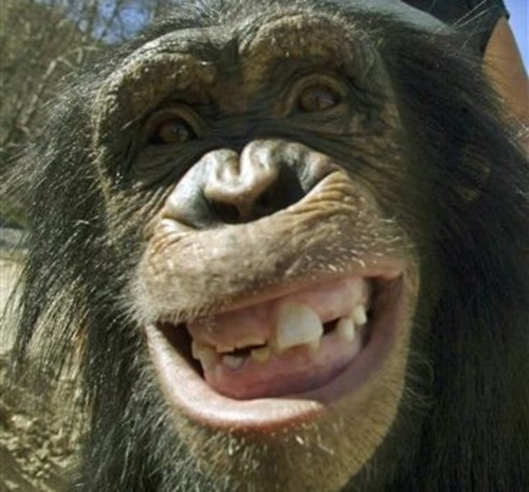 Chimps, bonobos and other non-human primates appear to share some characteristics with humans when it comes to humor and laughter, researchers say.