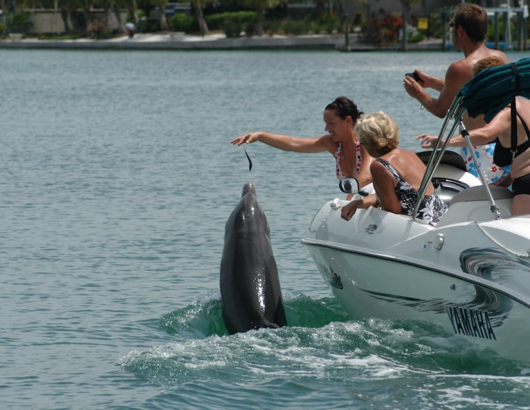 Boaters illegally feed Beggar the dolphin near Sarasota, Fla., in this undated photo.