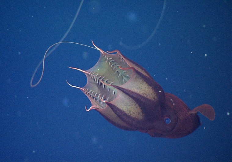 This frame grab from an underwater video shows a vampire squid in a typical feeding position, drifting horizontally in the deep sea with one of its filaments extended.