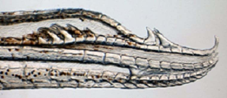 A magnified view of the four-hooked genitalia of the newly identified fish species Gambusia quadruncus.