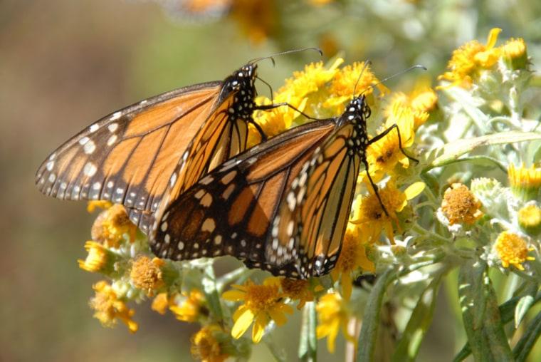 """Image: Monarch butterflies shown in """"Flight of the Butterflies"""" film"""
