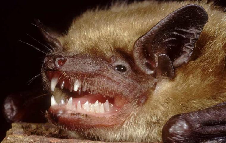 Image: Little brown bat