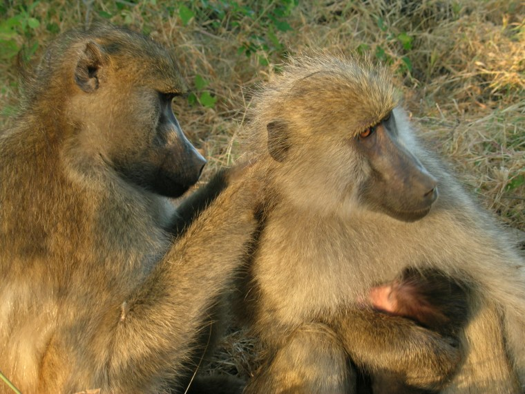 A new study found that baboons formed strong social bonds with long-term grooming partners, despite their dominance rank.