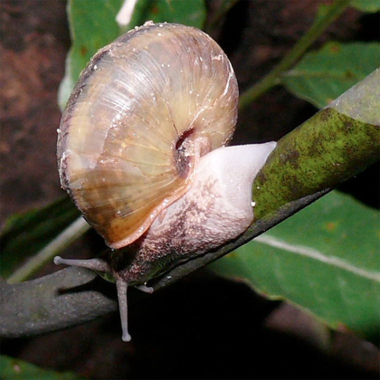 """The land snail Satsuma caliginosa sheds its """"tail"""" (or foot) to escape a snake predator. Here, the snail is regenerating its tail."""