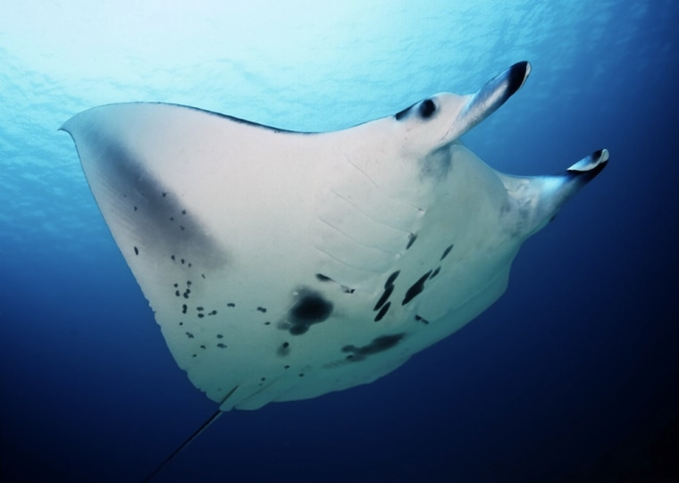 "Manta rays keep clean with the help of ""cleaner fish"" that nibble parasites and dead skin off their bodies."