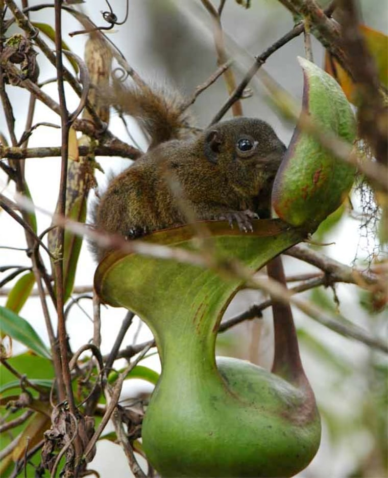 Mountain tree shrews (Tupaia Montana), like this one, feed on the nectar coating the undersides of leaves of the Nepenthes lowii pitcher plant. Conveniently, they can also defecate into the pitcher, leaving nitrogen-rich feces for the plant to consume.