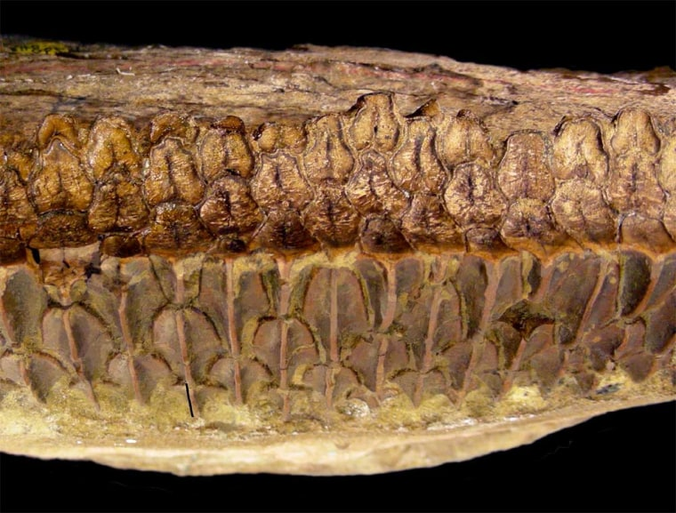 Huge plant-eating dinosaurs called hydrosaurids had complex teeth (a battery of teeth shown here) like horses, likely rivaling these and other mammals in their chomping abilities, suggests new research detailed in Friday's journal Science.