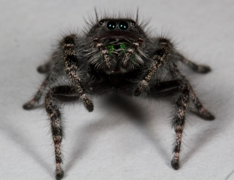 What a large number of eyes you have! The jumping spider Phidippus audex, like most spiders, sports eight eyes.
