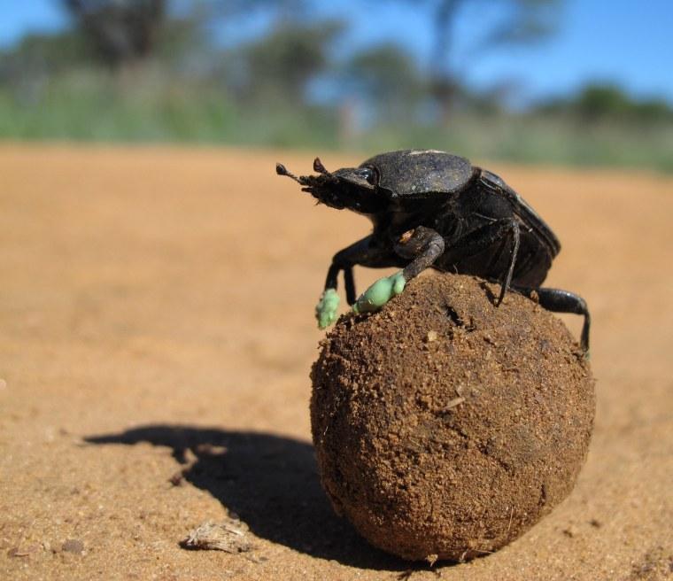 Image: Dung beetle