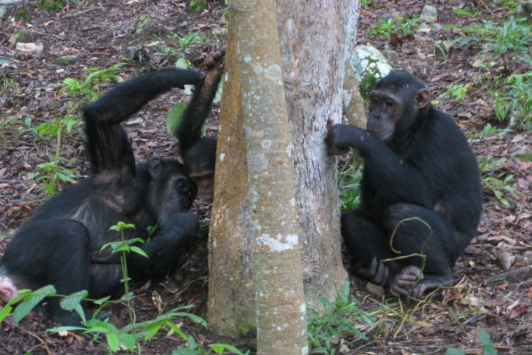 """Chimpanzees use a little technology to do some """"ant fishing"""" in this photo."""