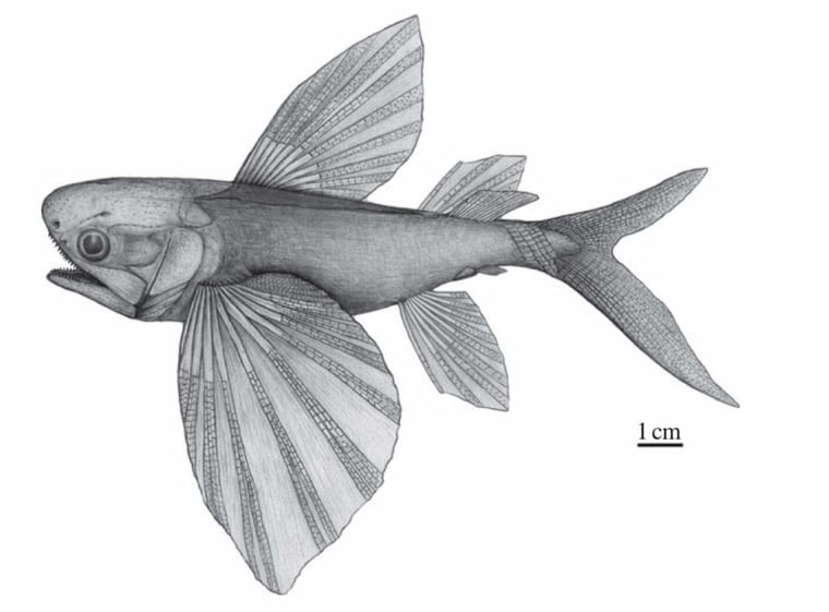 A drawing of what an ancient flying fish, Potanichthys xingyiensis, might have looked like more than 235 million years ago.