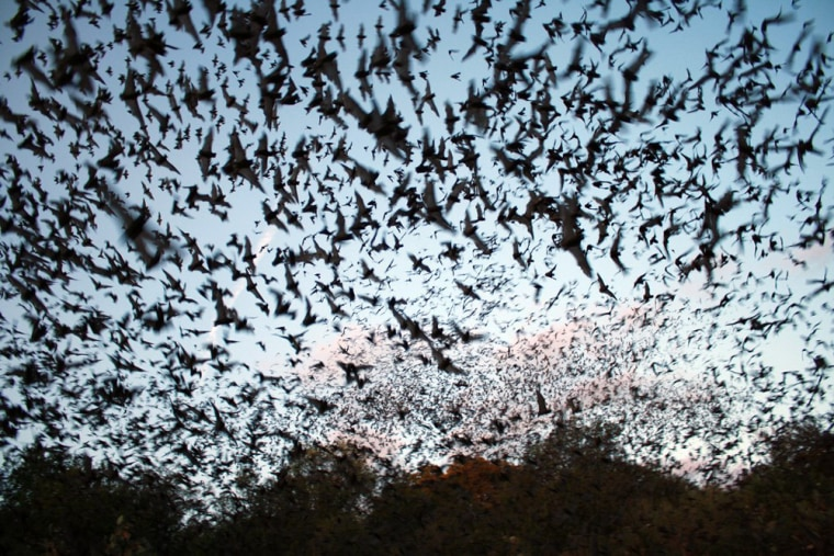 When the weather gets cold, millions of bats like to head to Alabama.