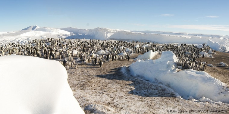 One of the new emperor penguin colonies observed by French researchers on Nov. 1.