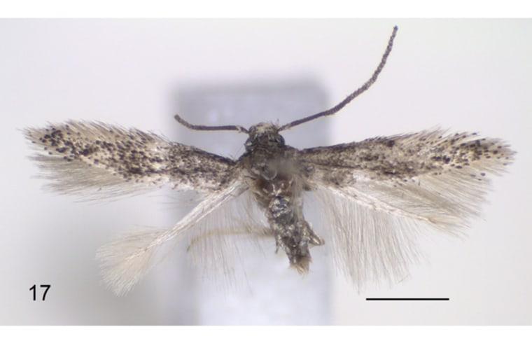 Urodeta trilobata is one of the newly discovered species ofminers, a type of moth whose larvae hollow out chambers inside leaves.