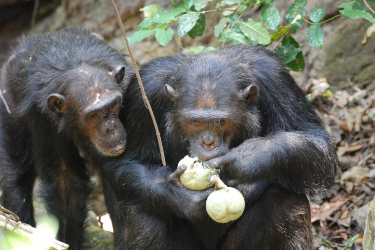 Chimpanzees at Gombe Stream National Park in Tanzania have a lot in common with humans. And they both like to eat, apparently.