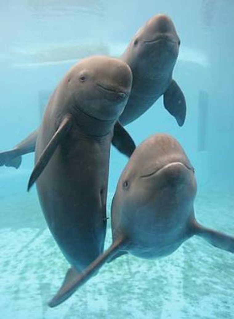 Estimates suggest the  Yangtze finless porpoise could become extinct within 15 years if major steps aren't taken to address its plight.
