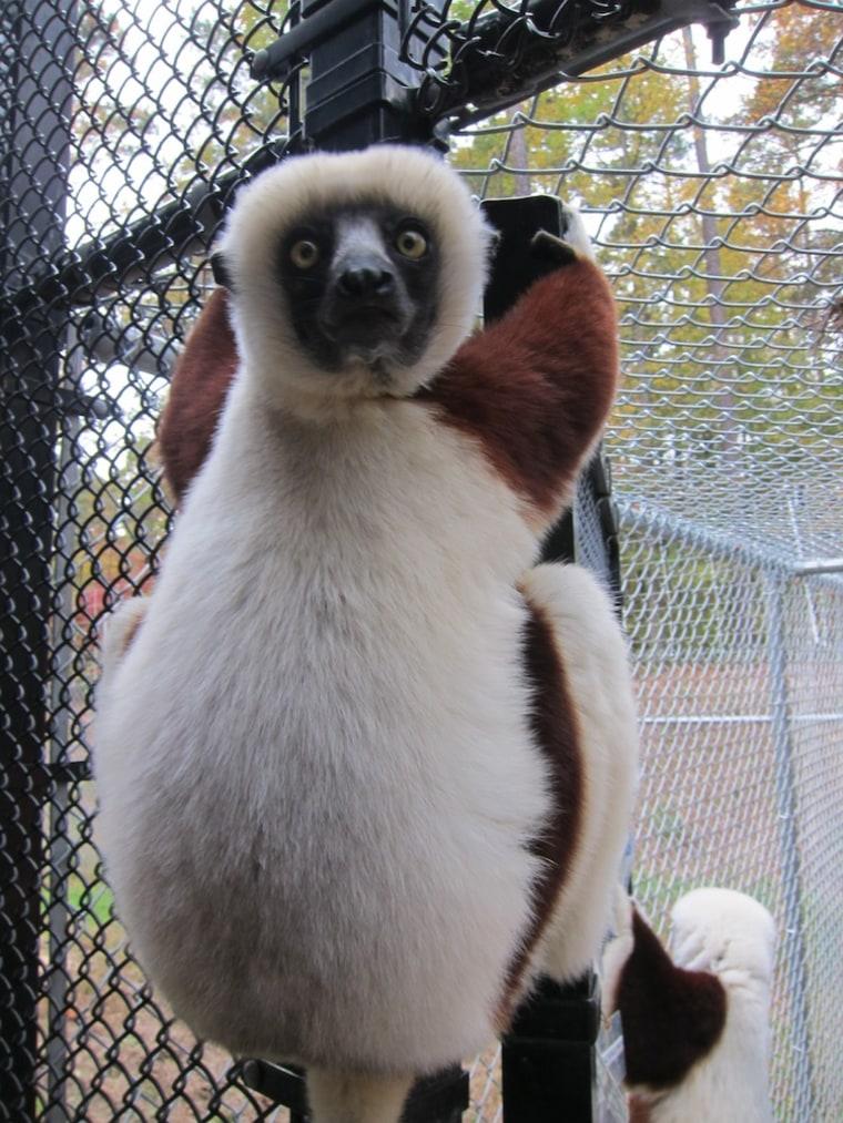 Sifaka lemurs are expert climbers, as this resident of the Duke Lemur Center demonstrates.