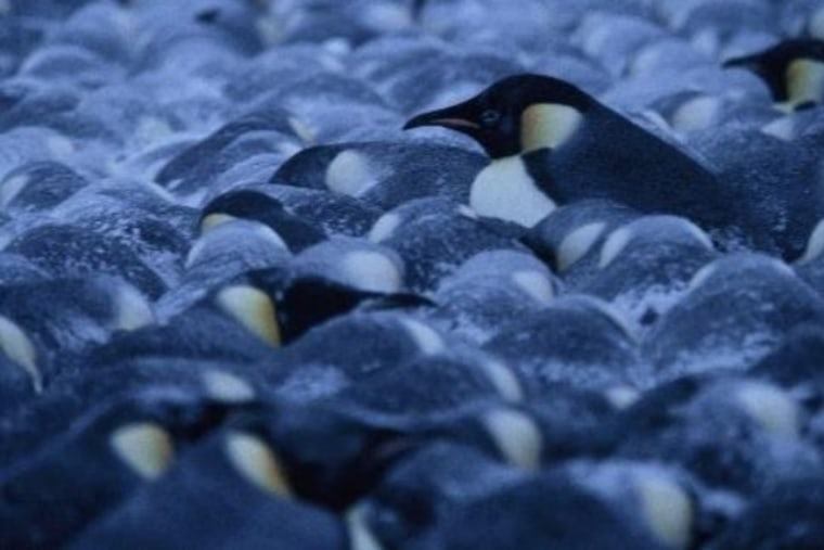 Image: Penguins in a colony pack extremely tightly together