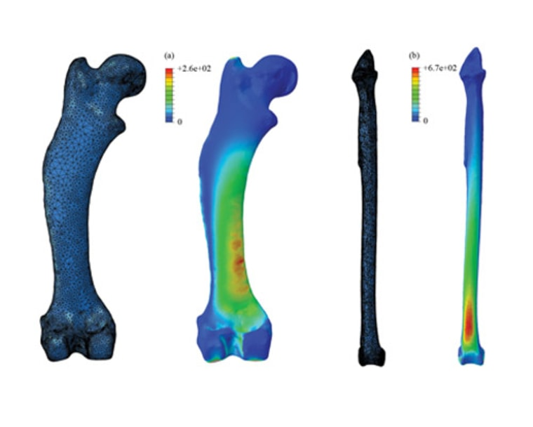 By simplifying leg bones down to basic columns, previous studies could have underestimated the stresses experienced in animal limbs by up to 142 percent. Stress shown here in the common hedgehog's femur (a), and a tibia of a large bird, Uria (b).