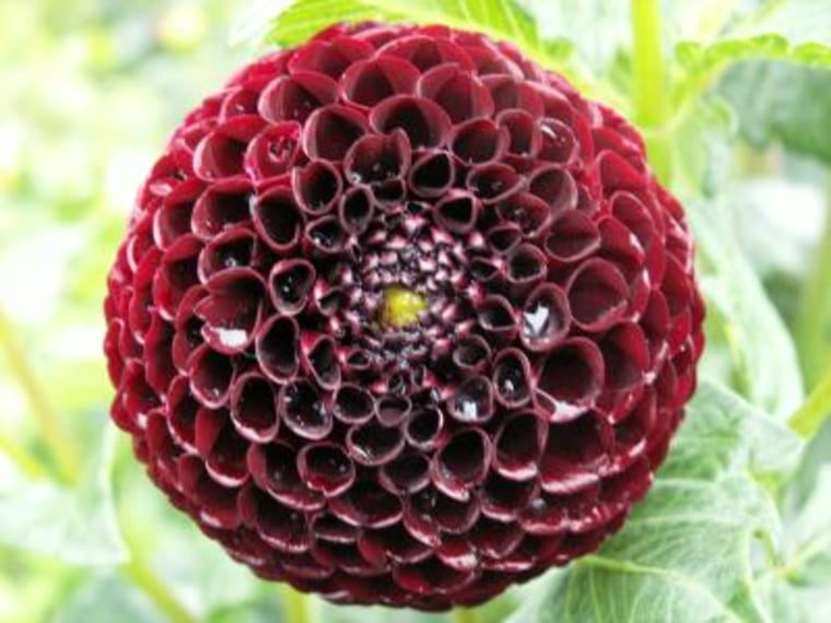 Dahlia variabilis hort. is a popular garden flower. Continuous dahlia breeding worldwide has led to the availability of a huge number of cultivars — 20,000 varieties — many of them showing red hues. Black hues of dahlia flowers occur rarely in comparison.