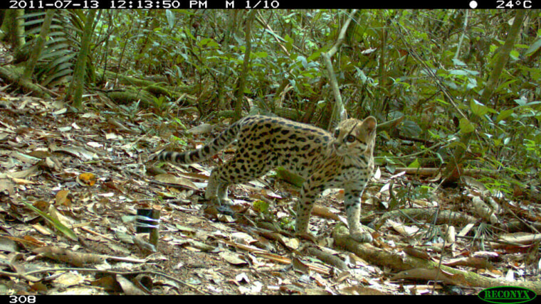 This rare, mysterious cat species, called an oncilla, was photographed by a camera trap in Bolivia's Madidi National Park in July.