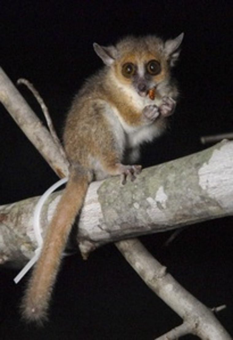 The gray mouse lemur.