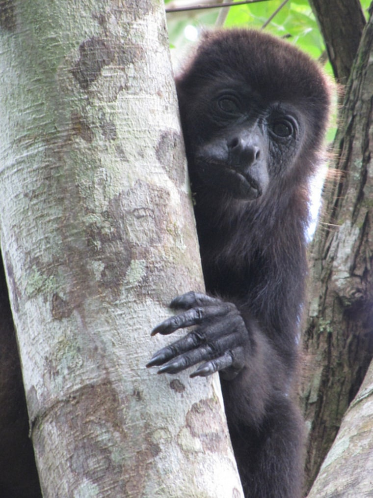 A female mantled howler monkey in Tabasco, Mexico.