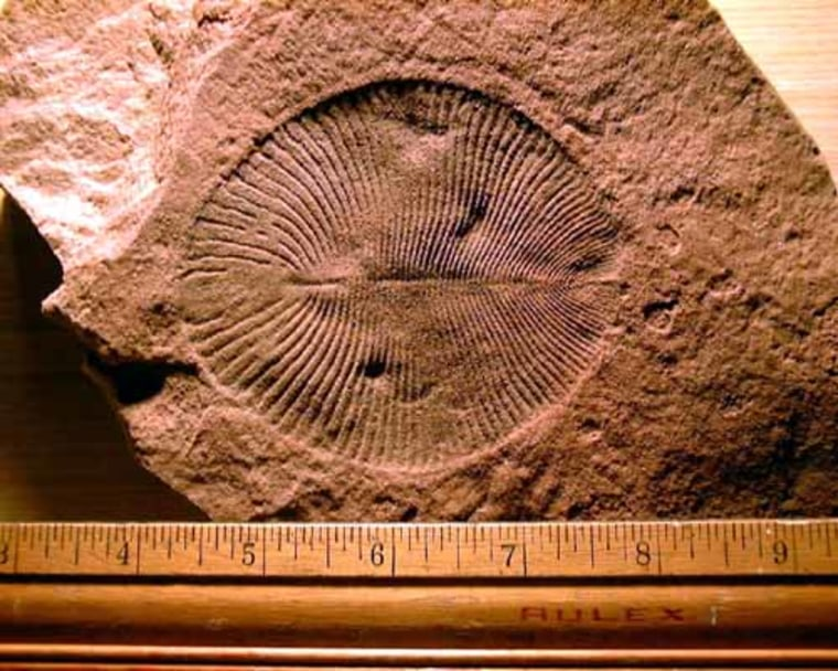 Dickinsonia is known from Vendian rocks of south Australia and north Russia. The specimen here is an adult one from the Ediacara Hills of southern Australia.
