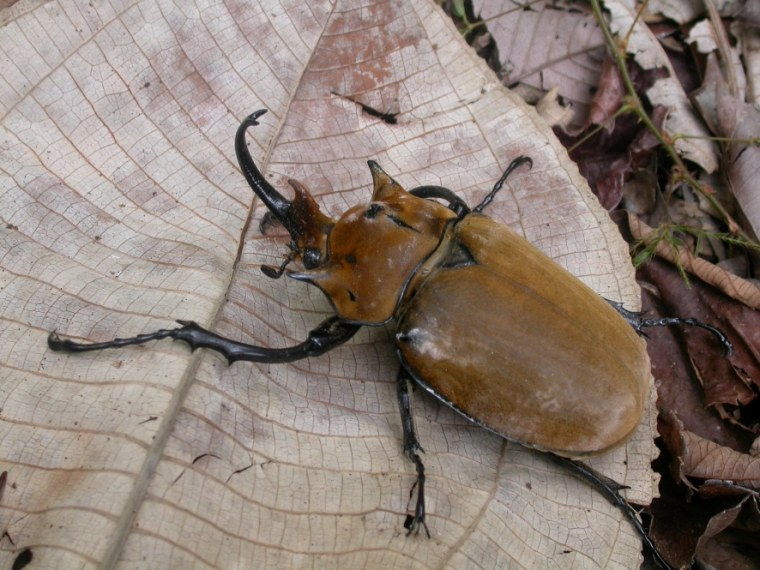 Scarab beetle (Megasoma elephas) in the understory of Panama's San Lorenzo forest.