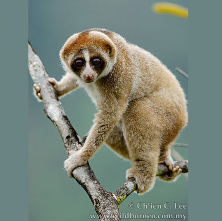 """The newly discovered slow loris primate (Nycticebus kayan) has a furry """"face mask"""" distinct from other slow loris species."""